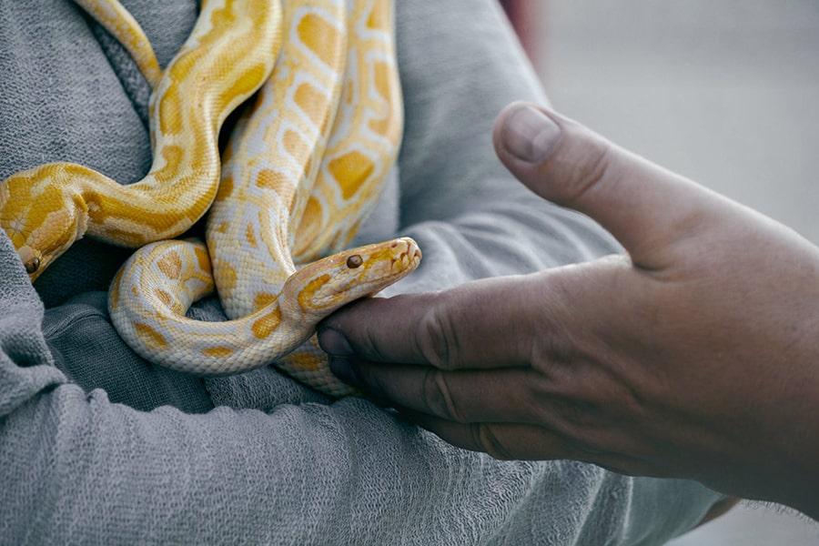 Mơ thấy rắn vàng trắng