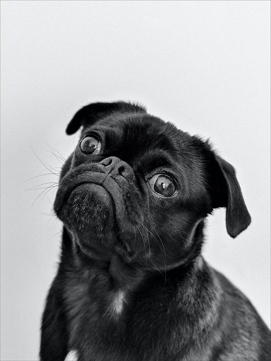 Mơ thấy chú chó hung dữ