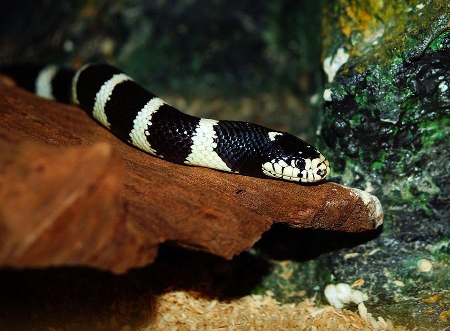 Mơ thấy rắn có đốm đen trắng.
