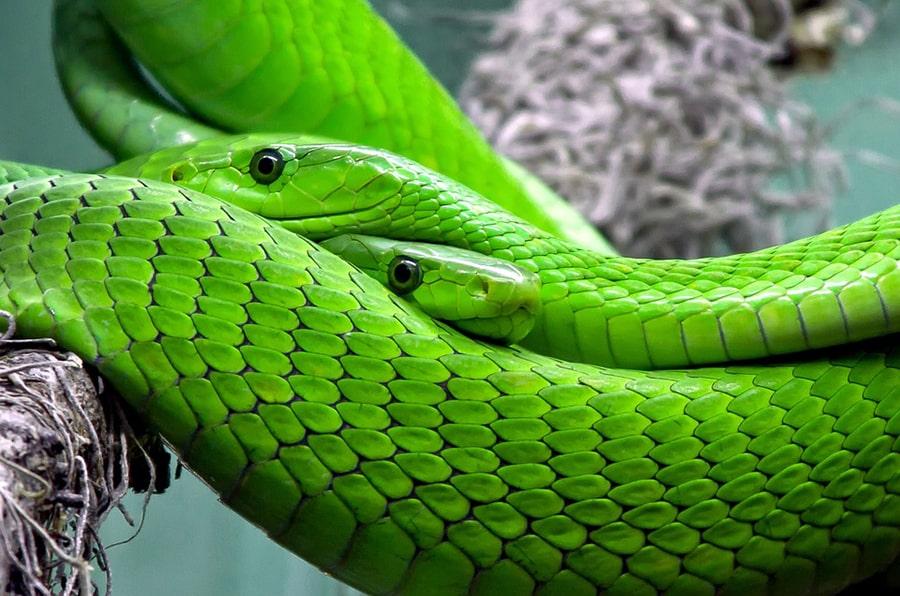 Mơ thấy rắn xanh