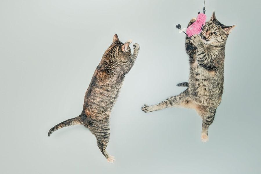 Mèo chiến đấu trong giấc mơ