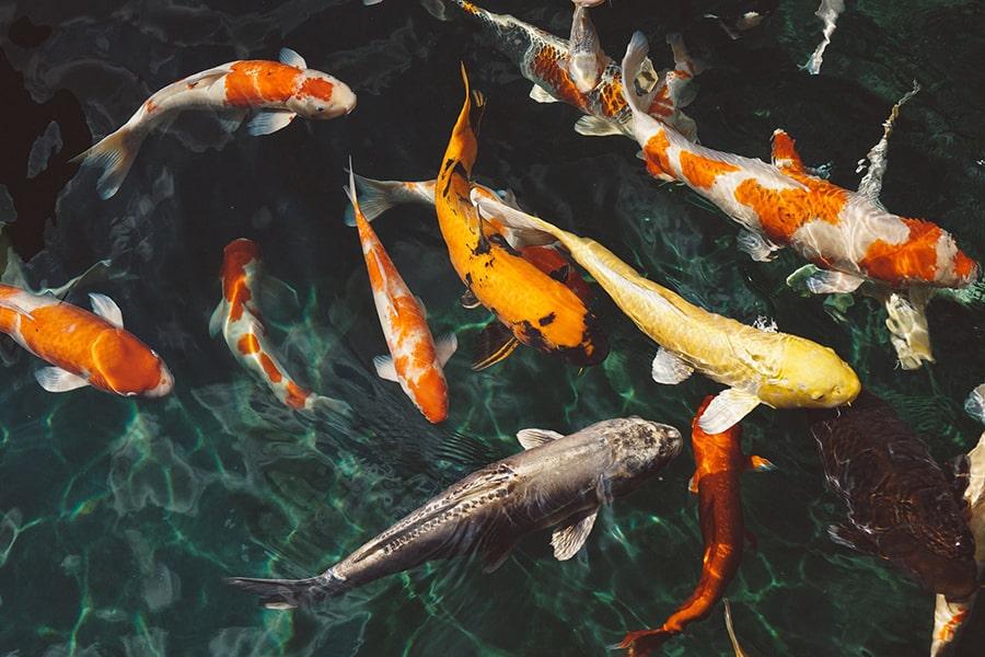 Mơ thấy cá Koi