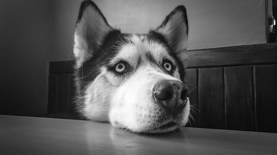 Mơ thấy chó Husky siberia