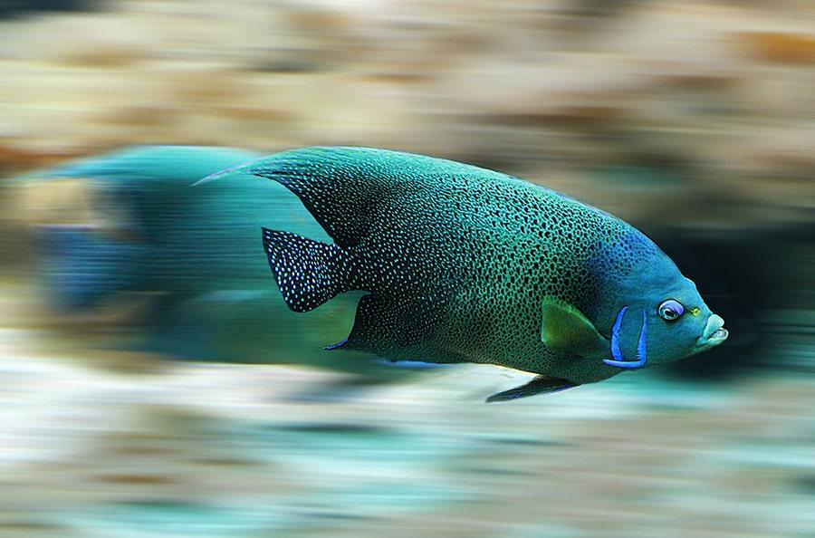 Cá là một con vật linh thiêng.