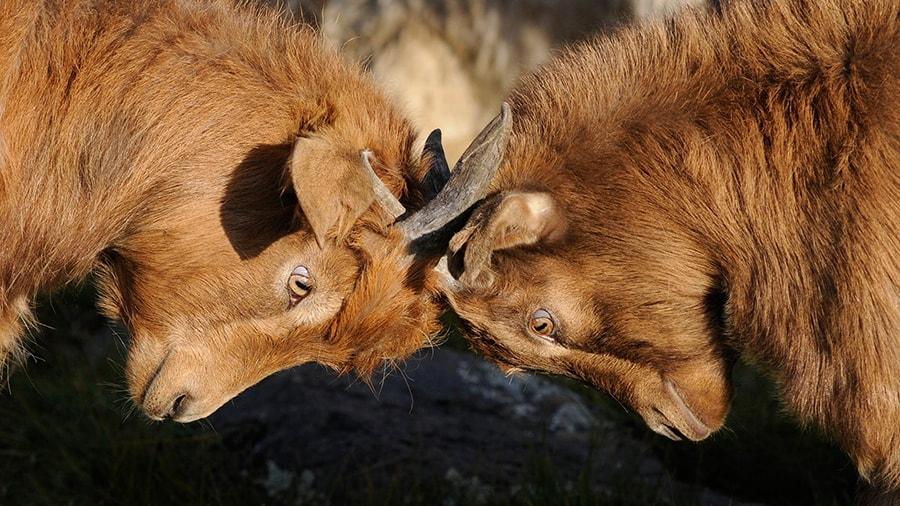 Mơ thấy hai con vật đánh nhau