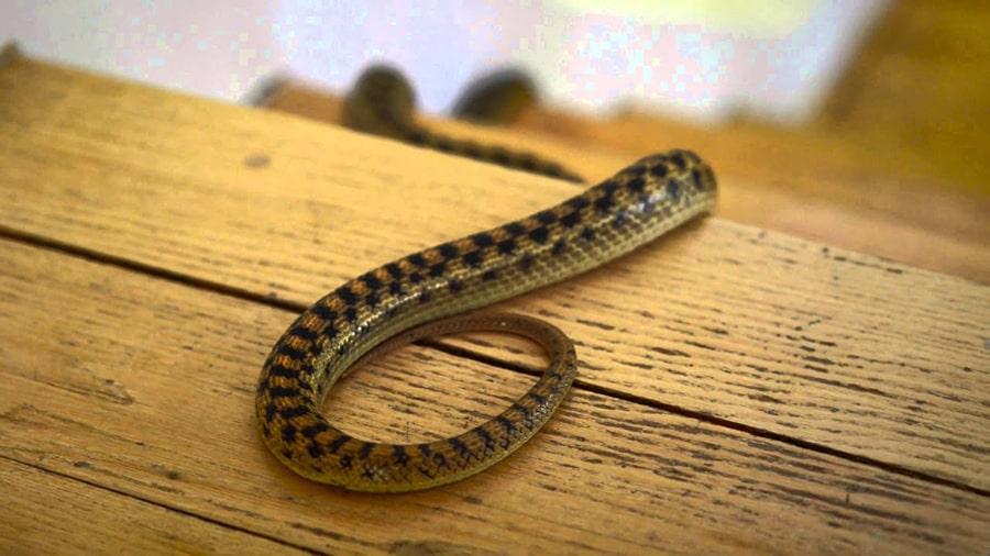 Mơ thấy rắn đen vào nhà