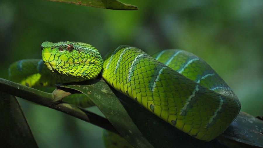 Giấc mơ của rắn hổ mang xanh