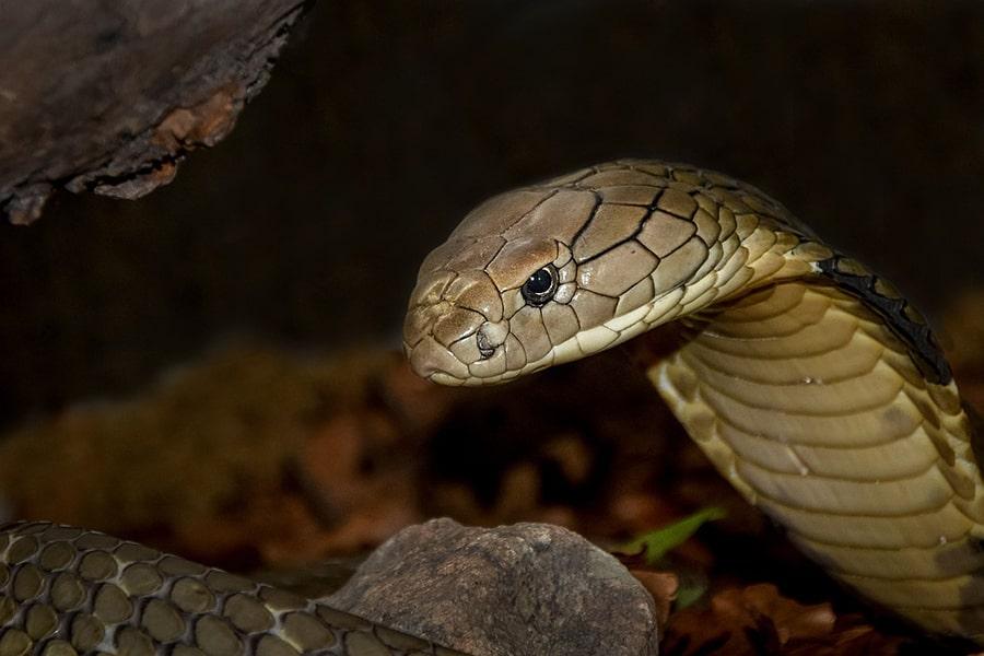Mơ thấy rắn hổ mang chúa.